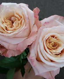 Shimmer - Standard Rose - Roses - Flowers by category | Sierra Flower Finder