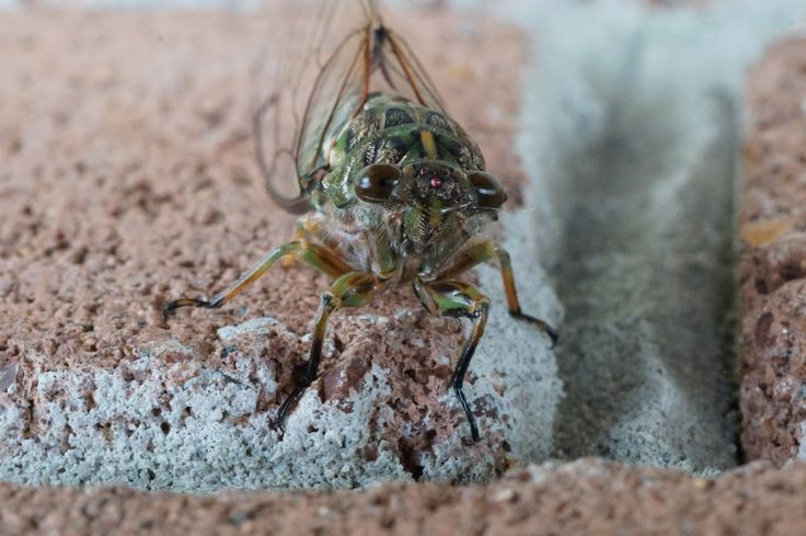 Cicada insect detail