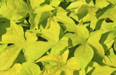 Sweet Potato With Yellow Leaves – How To Fix Yellow Leaves On Sweet Potatoes