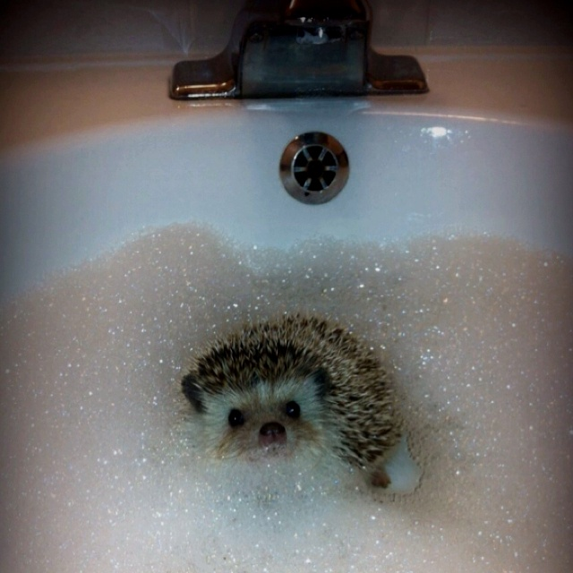 90 best images about Hedgies ( - 108.0KB