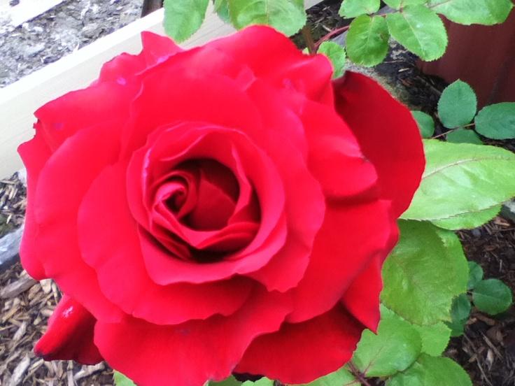 Peter Brock rose
