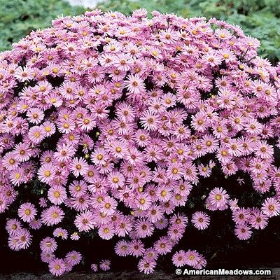 17 best images about flowers asters on pinterest for Perennial wood