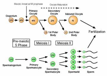 cell cycle and dividing cells number Cell division: mitosis and meiosis dividing cells ii  mitosis and meiosis dividing cells ii mitosis and the cell cycle iii  2 to 6 times the number of.