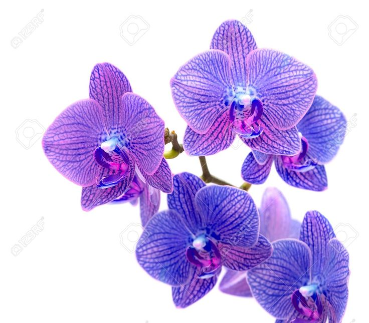 Belle Orchidée Bleue Isolé Sur Fond Blanc Banque D'Images Et Photos Libres De Droits. Image 13810087.