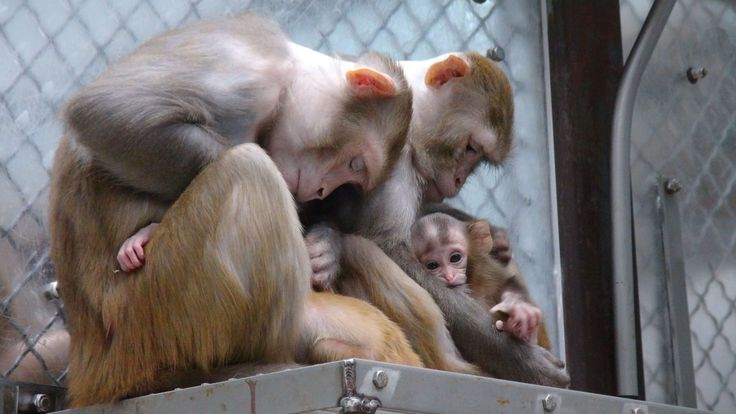 Imprisoning intelligent, sensitive monkeys in laboratory cages is cruel and immoral!