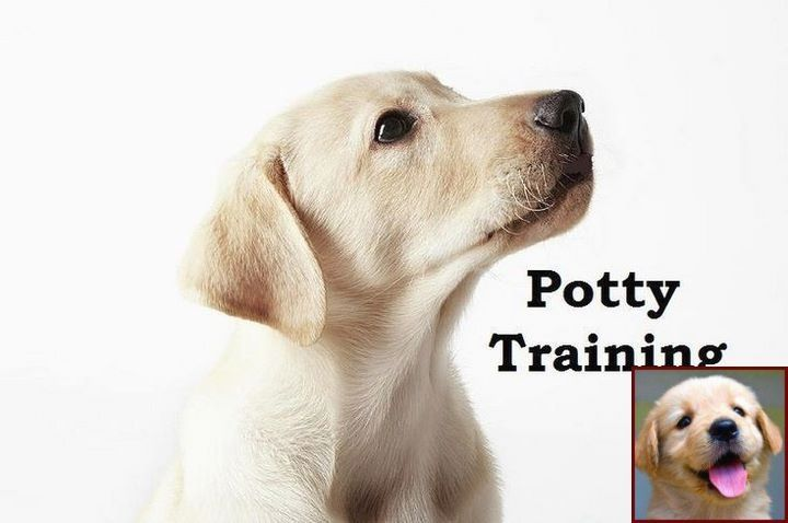 House Training A Puppy In An Apartment And Guide Dog Training