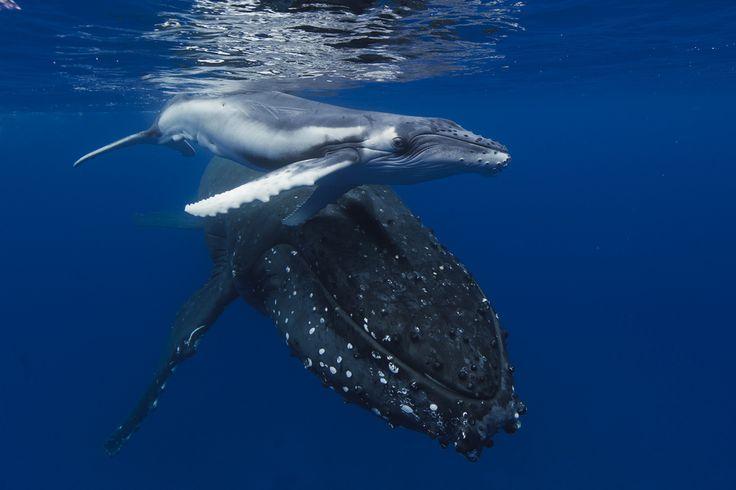 #Humpback #whale #ocean #nature