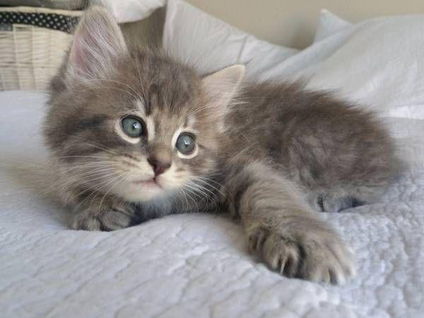 Beautiful Manx Kitten http://ift.tt/2jp3jyu