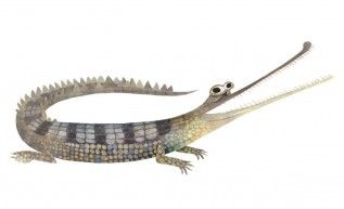 The GHARIAL • Brendan Wenzel  || This critically endangered fish-eating crocodilian once inhabited rivers across the Indian subcontinent but can now only be found in India and Nepal.