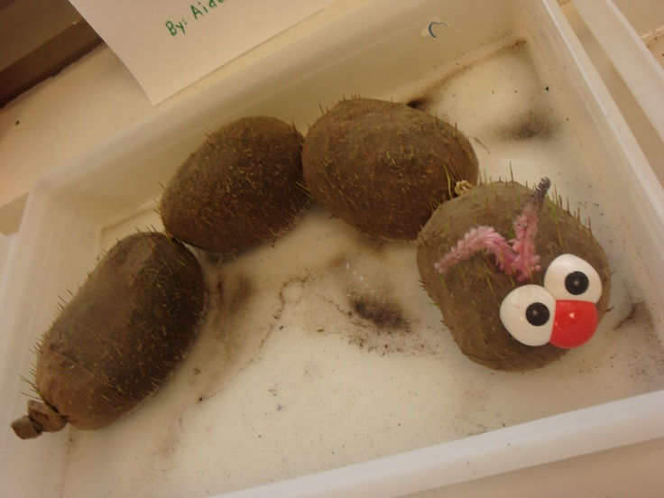 """Preschool Home Made """"Chia Pet"""" Catepillar--Supplies: Panty Hose, Potting Soil, grass seeds, Mr. Potato Head face, rubber bands. Park in a sunny window and have kids water it with a spray bottle. Pretty fun when the grass starts to grow. Kids can give it a haircut too."""