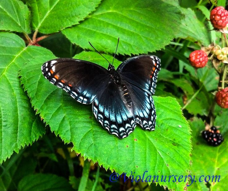 how to find salvia divinorum in the woods