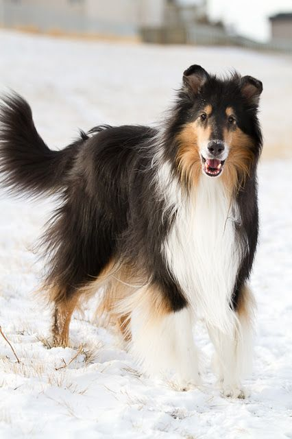 Pretty tricolor collie in the snow.
