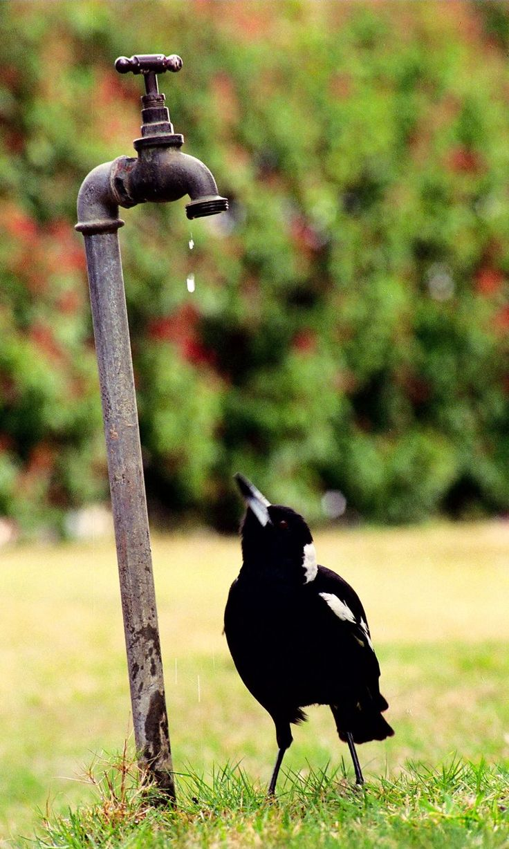 Magpie - Just A Drop. The ever loved and ever-resourceful Magpie photographed making the most of its urban environment to satisfy its thirst by capturing drops of water from a beautiful old bronze leaking garden tap. www.theshortcollection.com.au/City-Images