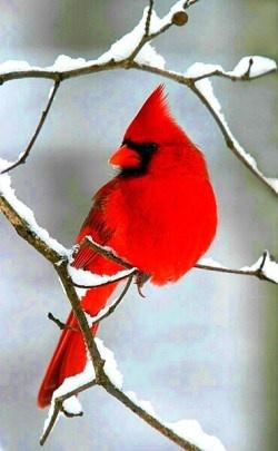 Winter cardinals free birds wallpaper - Winter cardinal wallpaper ...