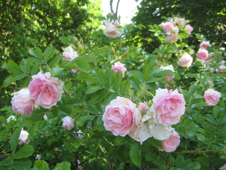 Romantic soft pink roses blooming in the Kuressaare castle park