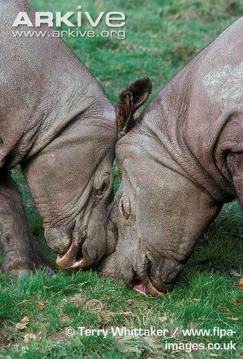 Sumatran rhinoceros male and female, captive