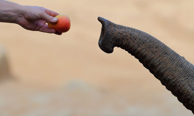 Obama llama a la acción para salvar a los elefantes de su extinción - http://www.renovablesverdes.com/obama-llama-a-la-accion-para-salvar-a-los-elefantes-de-la-extincion/
