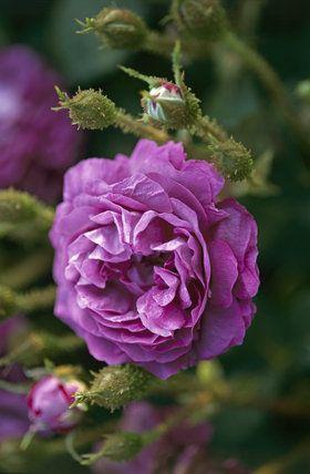 Moss Rose 'William Lobb'