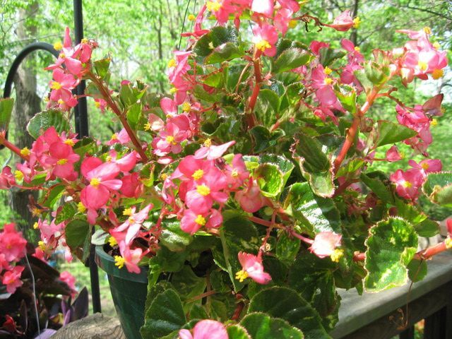 Begonias Begonia Flowers For Containers And The Garden Begonia Charm Begonia Flowers Flower Pots