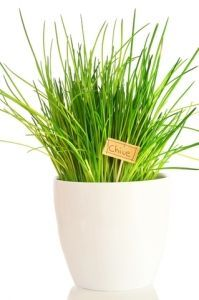 Growing Chives Indoors: How to Grow Chives Plant**