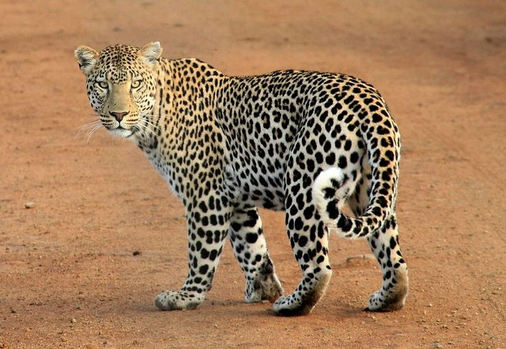 Leopard, Pontos Do Leopardo, Animal, Selvagem