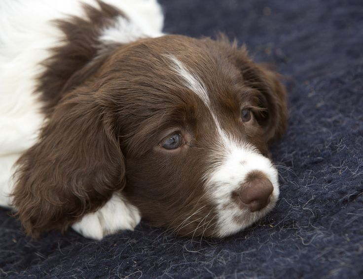 It's such hard work being a trainee police dog. One of our latest litter of spaniel pups takes a rest from all that playing with others! The pups have just arrived at the Force's dog training centre to begin learning the skills required to be a search dog. www.gmp.police.uk