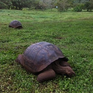 See them in their natural enclave! Wild giant tortoises of the Galapagos travel Ecuador wildlife