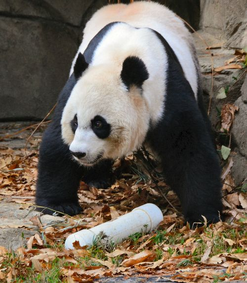 Giant panda Mei Xiang at the Smithsonian's Nationa Zoo, USA on November 30, 2013. Image credit : apandalover