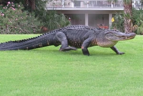 Massive alligator's golf course stroll draws the attention of nearby deer