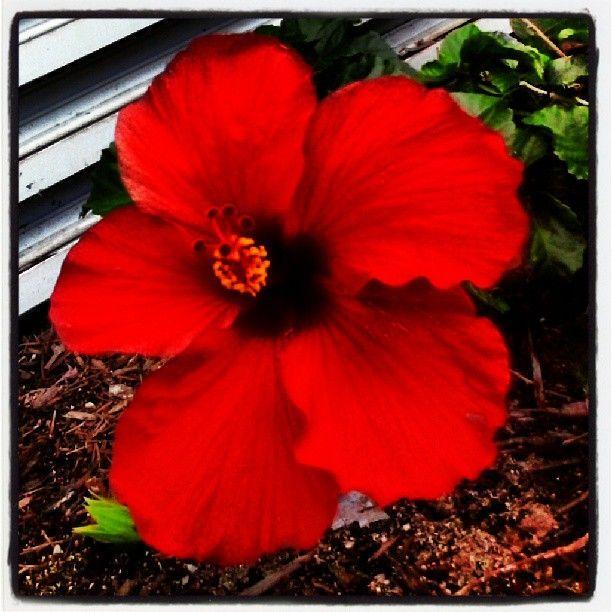 Big ol hibiscus