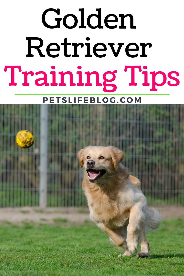 This Is A Post About Golden Retriever Training Tips If You Have A