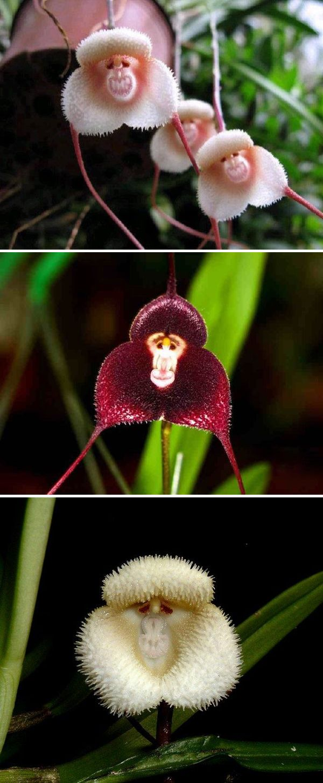 orquídea mono