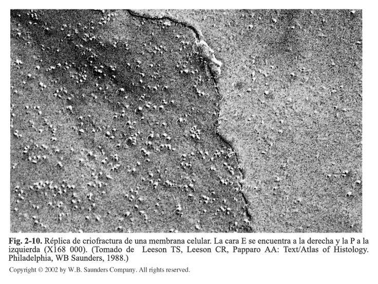 Criofractura de membrana celular.