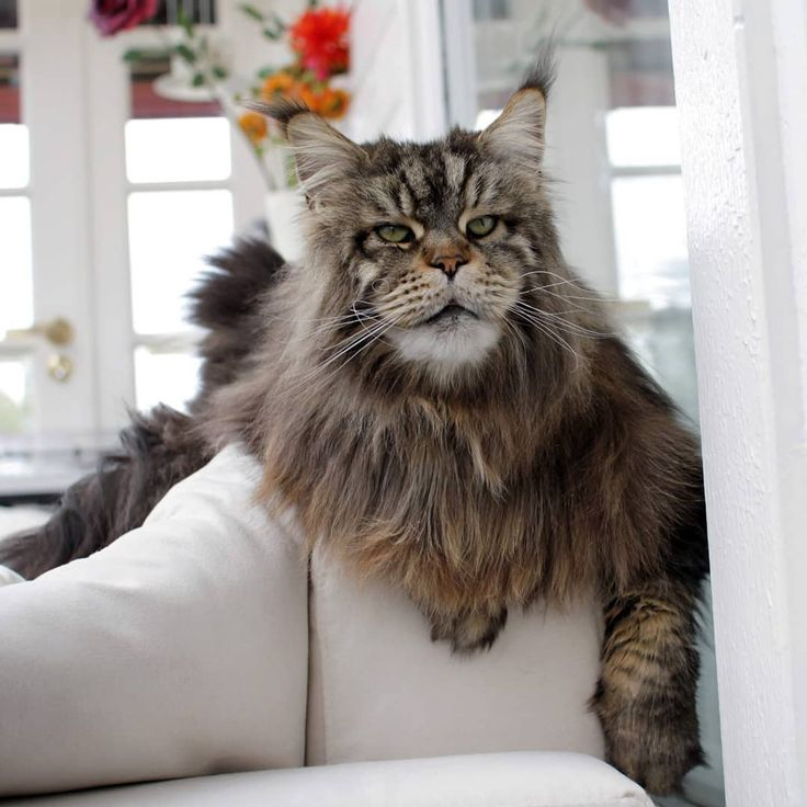 Huge Maine Coon Cat. #cat #mainecooncat #cute  – Katzen