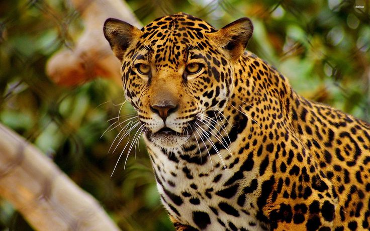 34 Best Feline - Jaguar Images On Pinterest