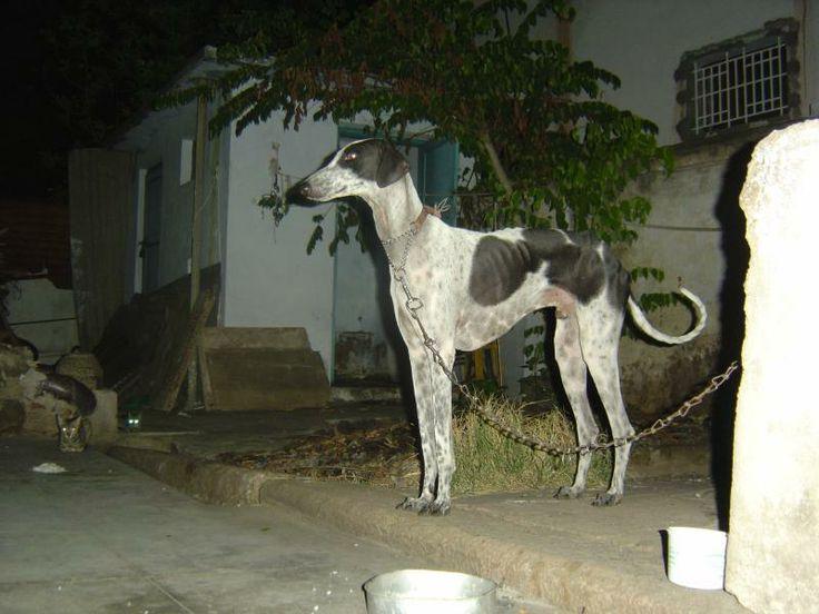 Mudhol Hound | Mudhol Hound Price in India,Mudhol Hound puppy for sale ...