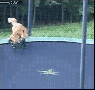A fox realises its on a trampoline
