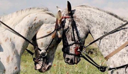 prachtige paarden