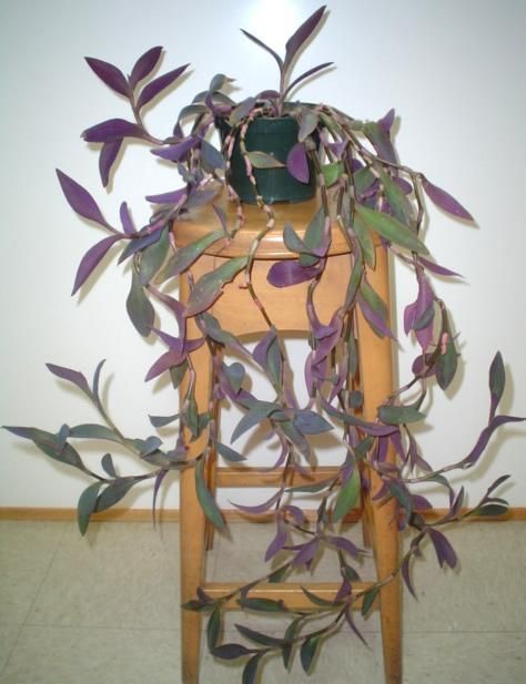 Wandering jew blomster pinterest - Wandering jew care ...
