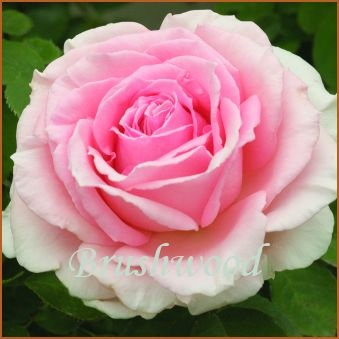 Pearly Gates Rose 14 95 This Pastel Pink Sport Of Rosa America Is Superb In