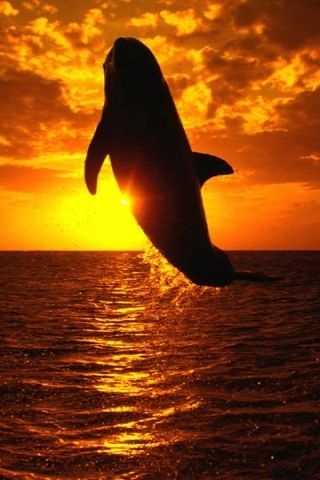 Whale at sunset...WOW!