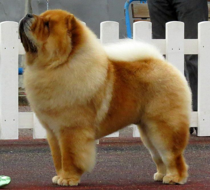 Chow Chows are not excessively active, meaning that they can be housed in an apartment. Description from en.wikipedia.org. I searched for this on bing.com/images