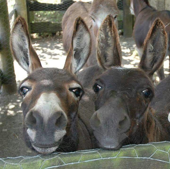 """Donkey"" from Shrek on the left!"