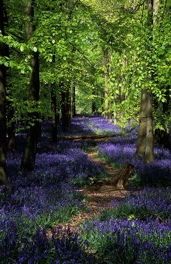 spring woodlands, Ashridge Commons & Woods, Hertfordshire, UK | conserved by the National Trust and a UK Biological Site of Special Scientific Interest