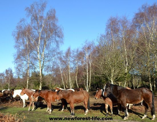 New Forest ponies enjoying the January winter sun - at last it's dry for a day or two. Time to doze and dry their coats out.