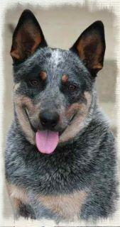 our Australian cattle dog, Max