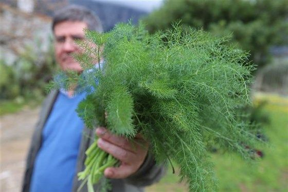 Sardinia's Mediterranean diet: 10 foods that lengthen your life    Fennel's liquorice taste flavours several Sardinian dishes. It's used as a vegetable (the bulb), as an herb (its willowy fronds), and as a spice (its seeds). Rich in fibre and soluble vitamins such as A, B, and C. It's also a good diuretic; therefore, it helps to maintain the blood pressure low.