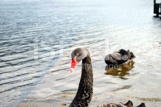 Black Swan (Cygnus atratus), Nelson Lakes National Park, NZ royalty-free stock photo