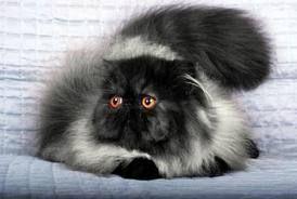 Beautiful in black and white (c) Melanie Wilhelm  Tag a #CatLady ❤️  #PersianCat #Persian #Cats #Pet #CatLover #PersianCatPhilippines #Philippines #BuzzfeedAnimals #CatsOfPinterest