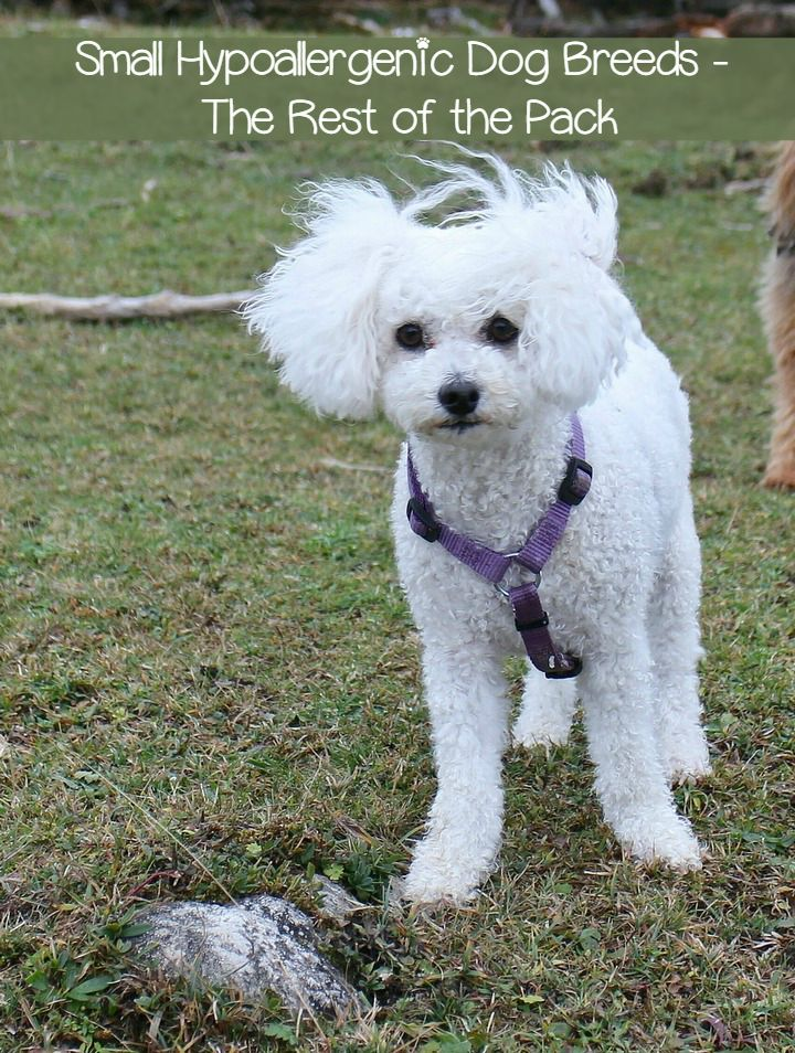 These hypoallergenic dog breeds complete my full list of all small hypoallergenic dog breeds out there. These are the non-sporting and miscellaneous breeds. Check them out!